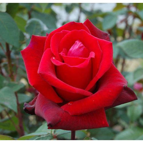 Carved Red Rose