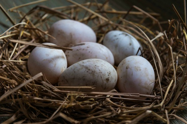 Quility Fresh Parrot Eggs