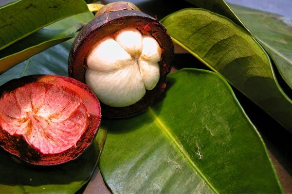 Garcinia Cambogia Fruit Manufacturer In Delhi Delhi India By