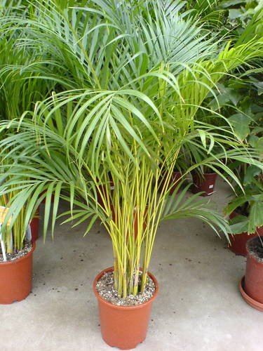 The Areca Palm Manufacturer In