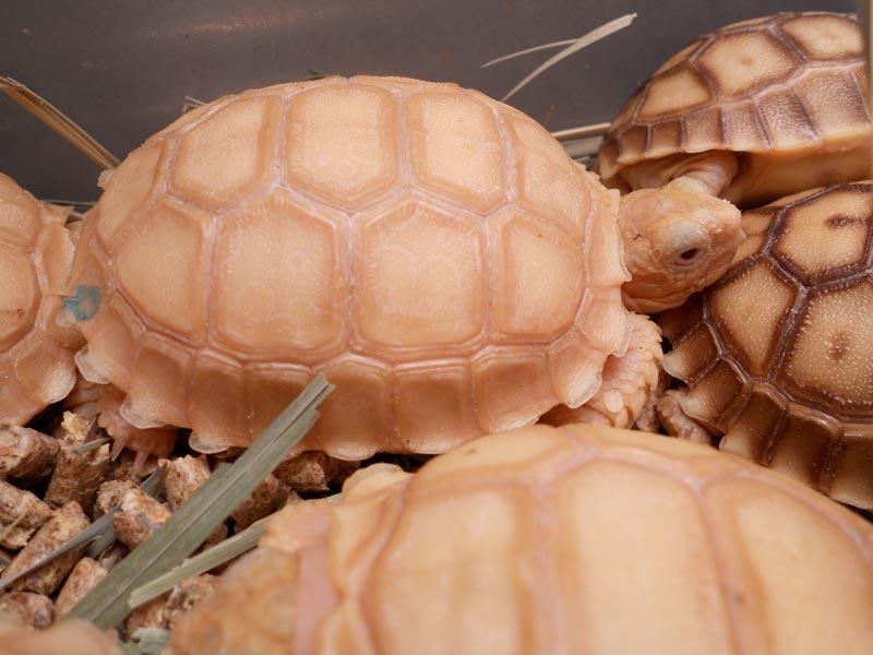 Tortoises farming services