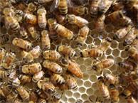 Apis Mellifera Bees Honey Bees