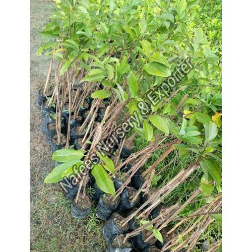 Amla Kanchan Grafted Plant