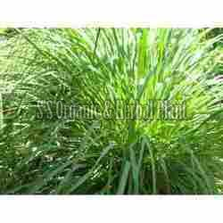 Citronella Lemongrass