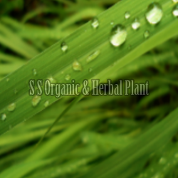 Green Lemongrass