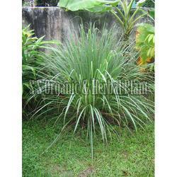 Herbal Lemongrass