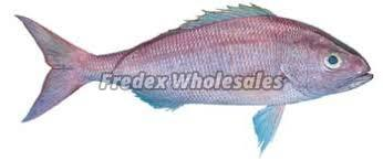 King Snapper Fish