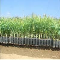 Hybrid Eucalyptus Plant