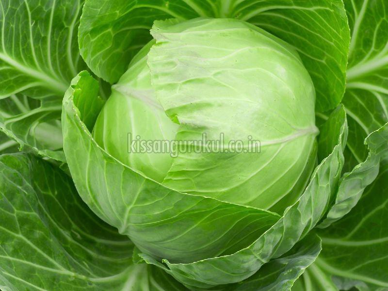 Fresh Green Cabbage