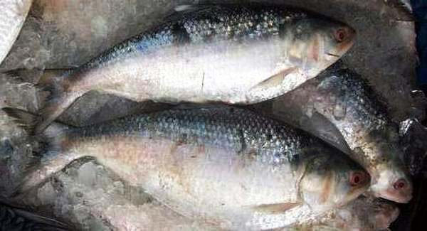 Frozen Hilsa Fish