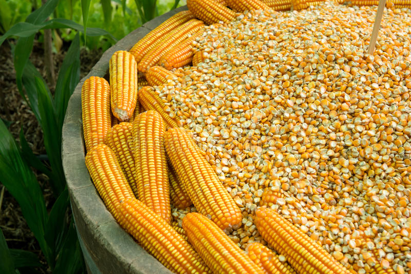 WHITE AND YELLOW MAIZE (dr3473489)