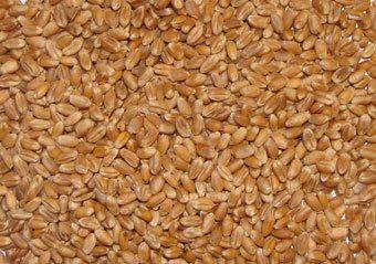 Wheat Animal Feed
