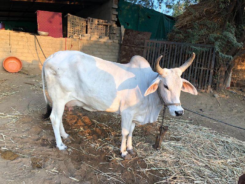 Kankrej Cow