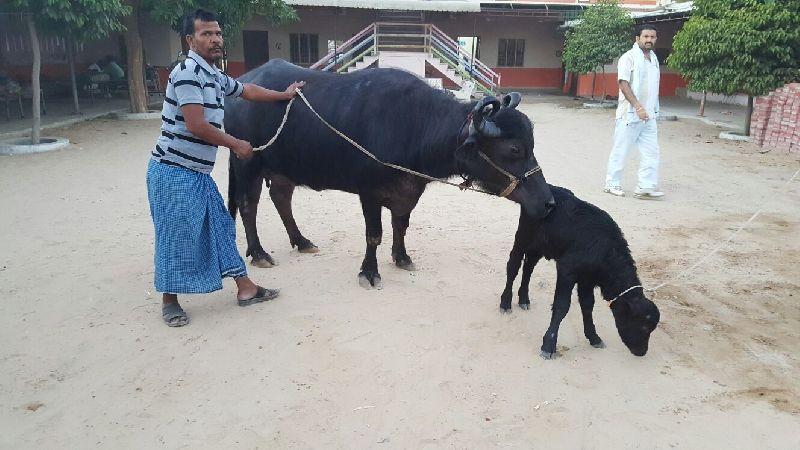 Mehsani Buffalo