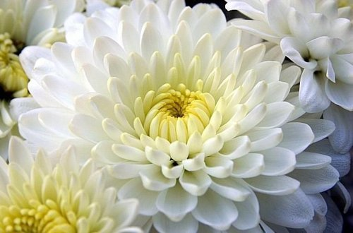 Fresh Purnima Chamanthi Flower Manufacturer In Andhra Pradesh India By K V S Enterprises Id 5246743