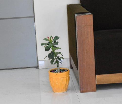 Adenium Plant with Ceramic Pot
