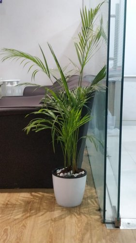 Areca Palm with White Flower Pot