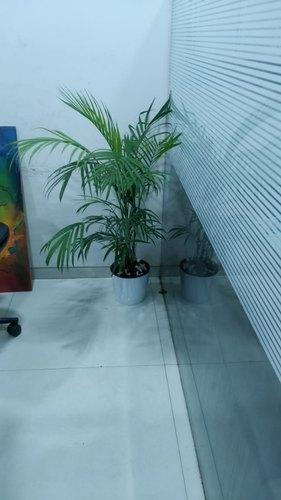 Areca Palm with White Pot