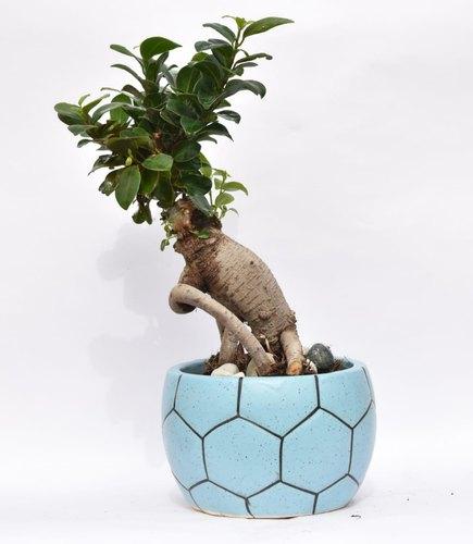 Bonsai plant with Ceramic Pot