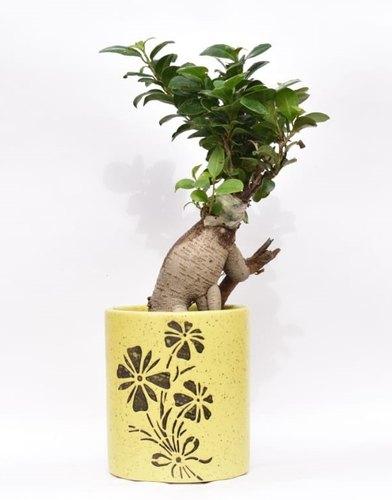 Bonsai Plant with Ceramic Pots