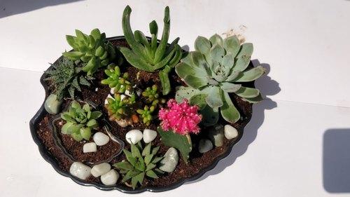 Decorative Succulent & Cactus Plants with Ceramic Pot