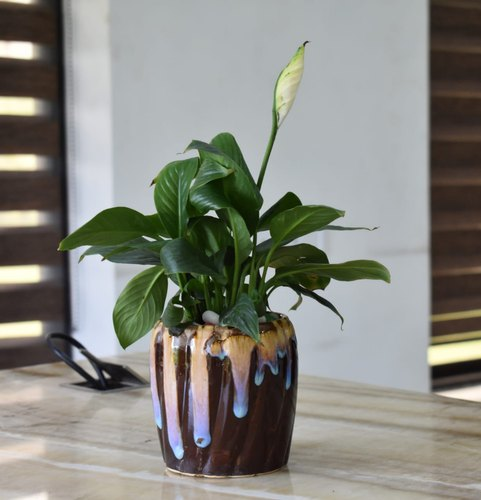 Peace Lily Plant with Decorative Ceramic Flower Pot