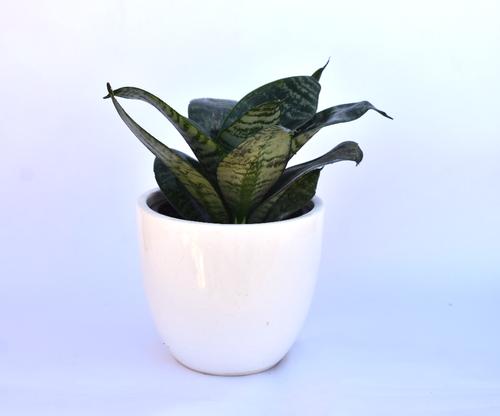 Snake Plant with White Ceramic Pot