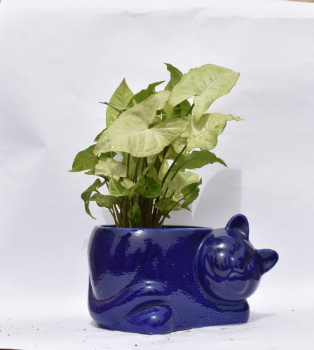 Syngonium with Ceramic Garden Pot