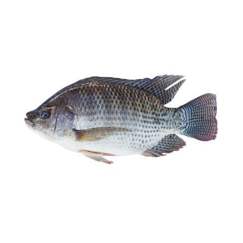 Monosex Tilapia Fish Seeds