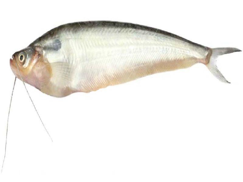 Ompok Pabda Fish Seeds