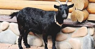 Live Bengal Goats