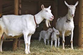Live Saanen Goats
