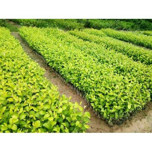 Hybrid Apple Ber Plant