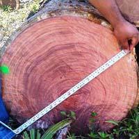Balsamo (Myroxylon Balsamum) Wood Logs