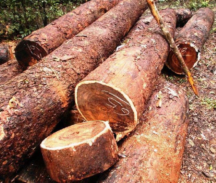 Chechen (Metopium Brownei) Wood Logs