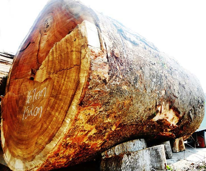 Parota (Enterolobium Cyclocarpum) Wood Logs