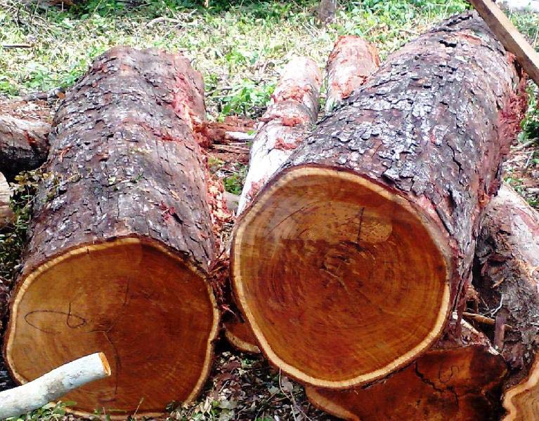 Tzalam (Lysiloma Bahamensis) Wood Logs