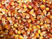 Maize Cattle Feed