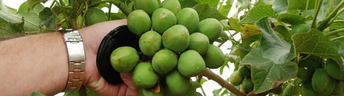 Jatropha Seeds Oil