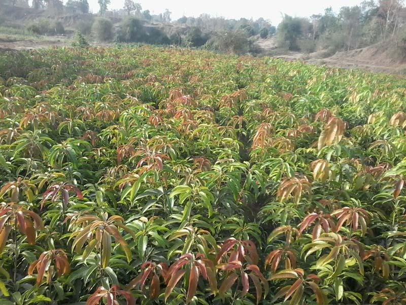 mangos farms narsari (margesh)