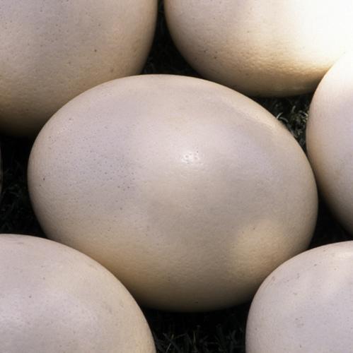 Fresh Ostrich Eggs