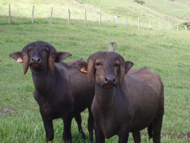 Jafarabadi Buffalo