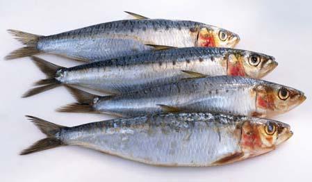 Sardine Fish Manufacturer In Thoothukudi Tamil Nadu India By