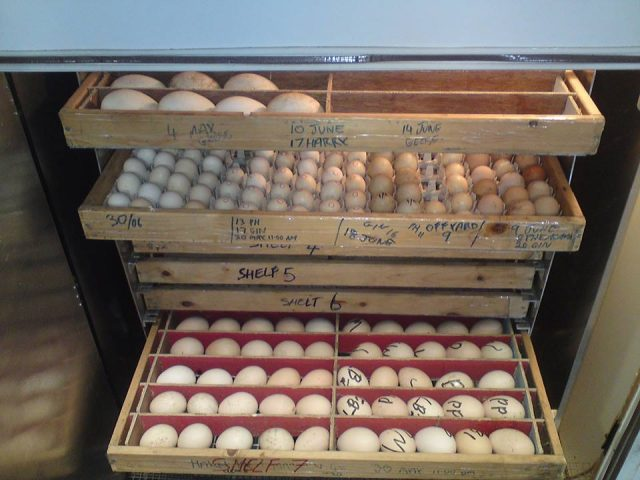 Buy Fertile parrot eggs and healthy chicks for sale from