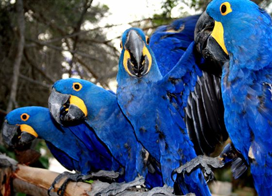 Buy HYACINTH MACAW,RED-TAILED BLACK COCKATOO AVAILABLE IN