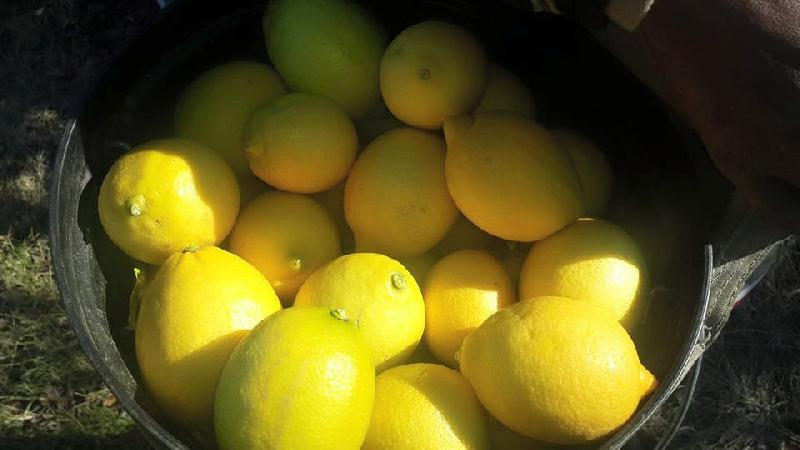 South African Eureka Lemon Manufacturer in Cape Town South