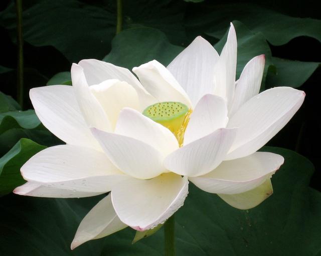 Fresh White Lotus Flowers Manufacturer In Bhubaneswar Odisha India
