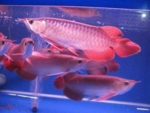 Asian Red Arowana Fish
