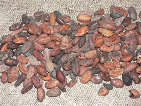 cacao bean (Natural Cacao Beans)