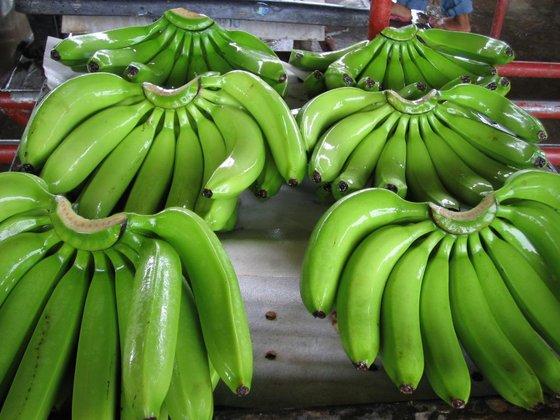 Cavendish Banana (Cavendish)